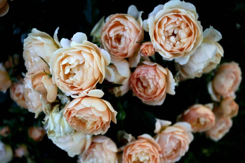 růže-karin-zadrick-úvodní