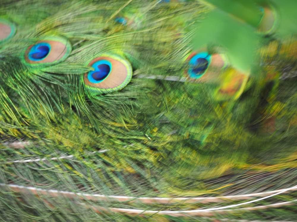 paví-ostrov-berlín