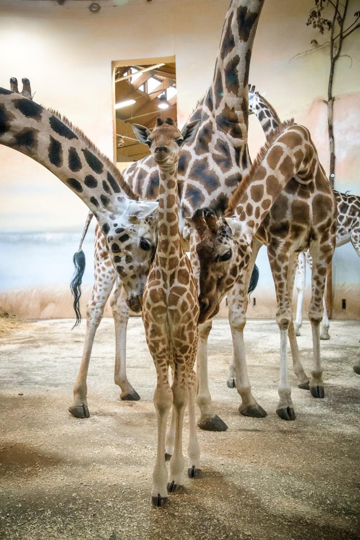 zoo-praha-zirafa-mlade-rodina