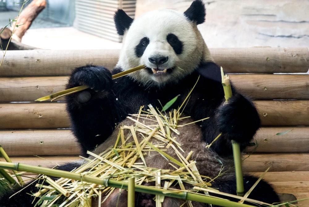 zoo-berlin-panda-vylet